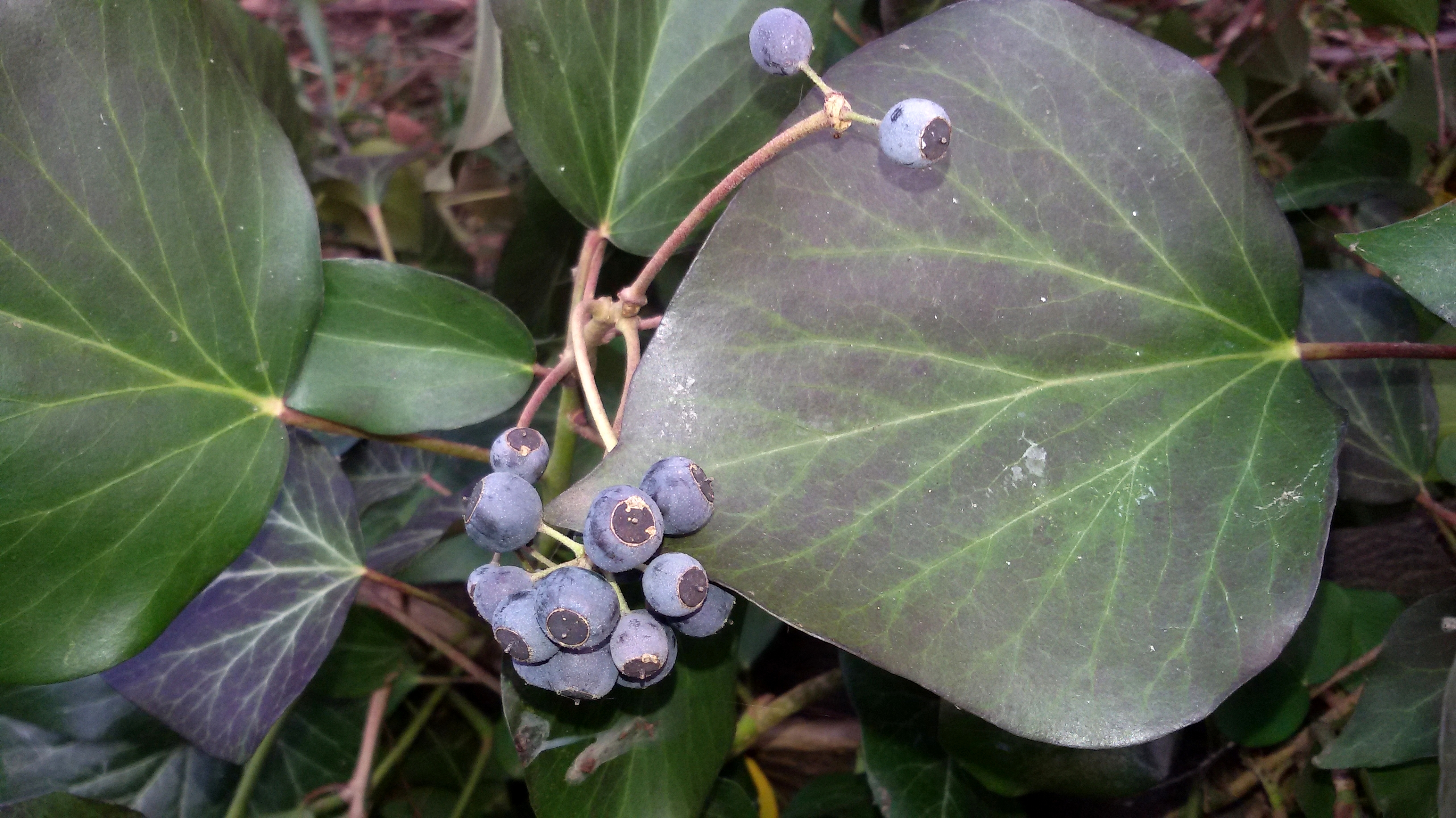Hedera helix con bacca-2