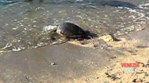 Pronto soccorso tartarughe marine di Venezia