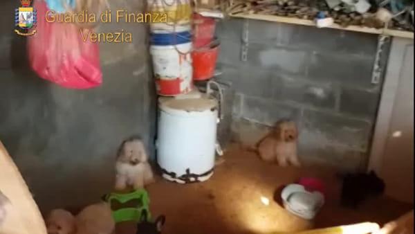 Cagnolini in baracche fatiscenti, sequestrata una decina di cuccioli | VIDEO